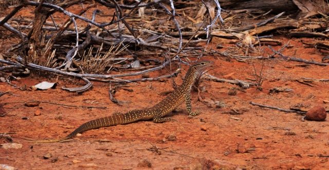 A baby goanna poses nicely for me_Kilcowera Station Dowling Way