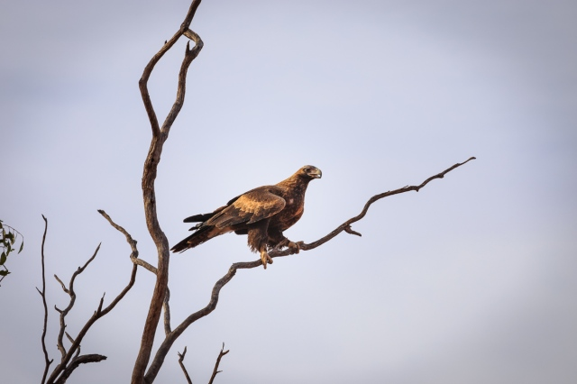 A rare close-up shot of a majestic wedge-tailed eagle_Kilcowera Station Dowling Way